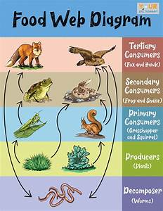 Simple Food Web Examples For Kids