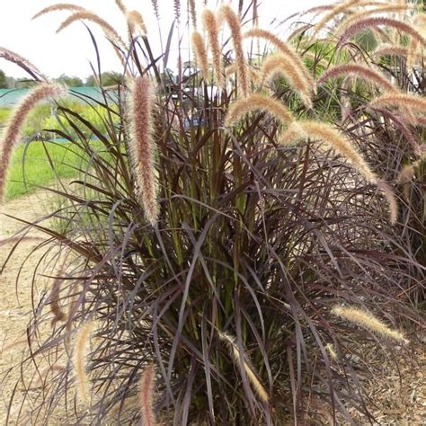 where to buy purple grass buy purple fountain grass on the plant hub