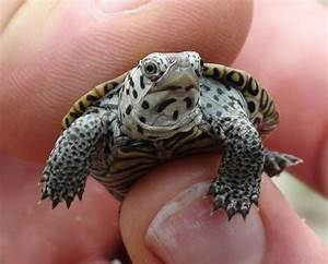 Cutest Tiny Turtle Ever!! - YouTube