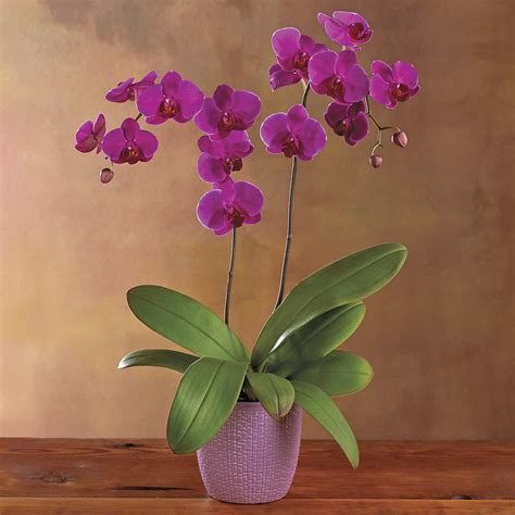 caring for phalaenopsis orchids after flowering top 10 tips on how to care for phalaenopsis orchids