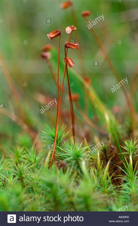 buy moss spores sphagnum moss spore capsules stock photo royalty free image 6537585 alamy