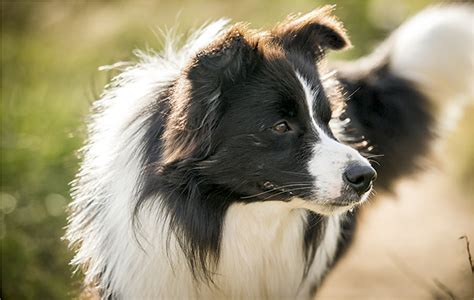 crazy  collies country life