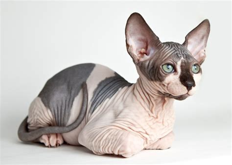 Hairless Cat Breeds  Purrfect Cat Breeds