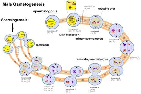spermatozoa development embryology