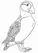 Puffin Coloring Papegaaiduikers Atlantic Kolorowanki Kleurplaat Malvorlage Fun Horned Puffins Stimmen Printable Coloringonly Stemmen sketch template