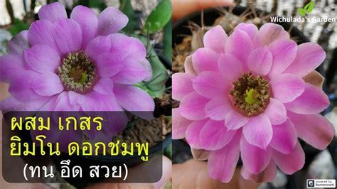 วิธีผสมเกสร กระบองเพชร ยิมโน ดอกชมพู ไม้สายทน อึด ดอกสวย