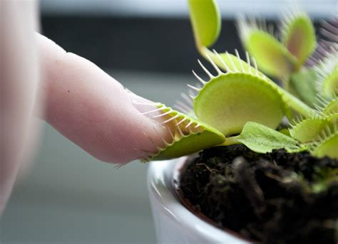 academy lawn venus flytrap scary plants 9 houseplants for brave