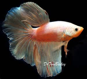 White Male Betta Fish