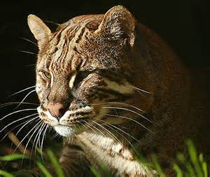 asian cat asian golden cat widespread but threatened southeast