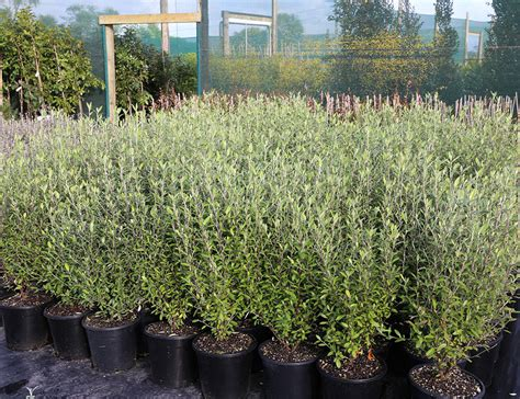 Plants Online Nursery by Corokia Geentys Green