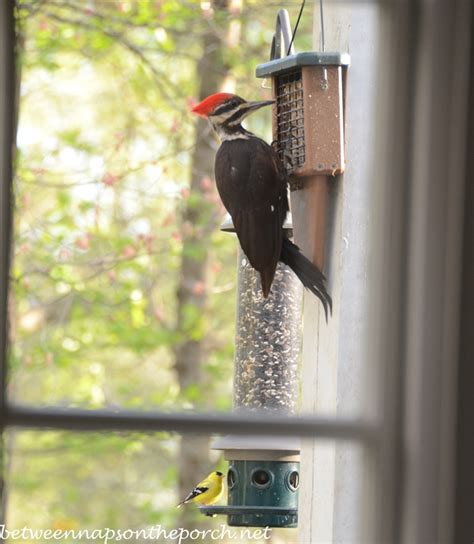 pileated woodpecker visits suet feeder in georgia backyard