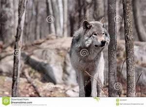 Wolf, In, Forest, Stock, Image