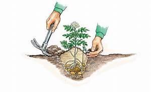 Bohnen Anbauen Anleitung : kartoffeln pflanzen und ernten mein sch ner garten ~ Whattoseeinmadrid.com Haus und Dekorationen