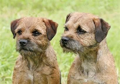 Terrier Border Terriers Breeds