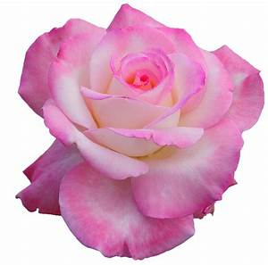 "The Discography, transparent-flowers: ""Secret"" Hybrid Tea ..."