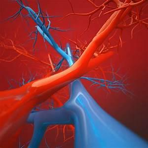 Diagram Of Arteries Throughout Body