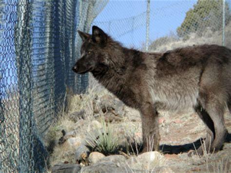 graywolfconservationcom wolf dog recommendations