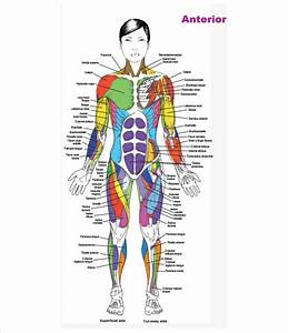 Free 7  Sample Muscle Chart Templates In Pdf