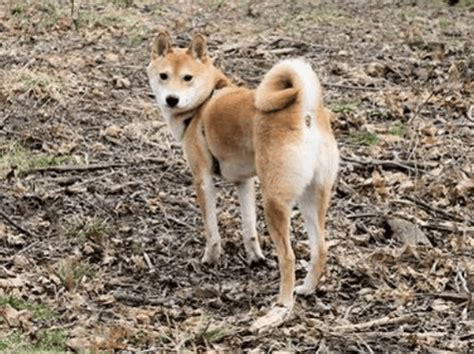 shiba butt dog bootys down should barkpost know reasons bow yeah manny booty