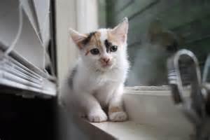 cats adoption kittens for adoption paws kitten rescue