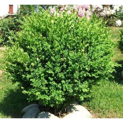 Buy Buxus Sempervirens (Common boxwood) on Rarexoticseeds