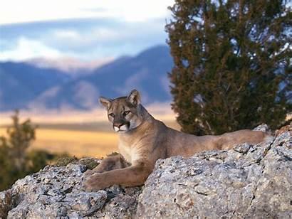 Lion Mountain Lions Desktop California Puma Wallpapers