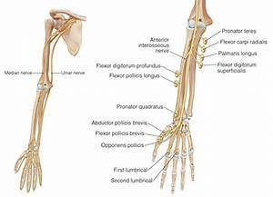 Anatomy Of Lower Arm