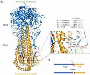 Cleavage Of The Ha Precursor  Ha0  Primes Influenza Ha