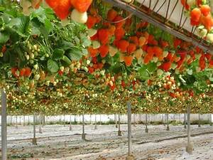 Potager Hors Sol : une culture de fraisiers en hors sol culture hors sol ~ Premium-room.com Idées de Décoration