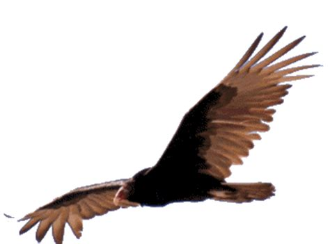 vultures graphics  animated gifs