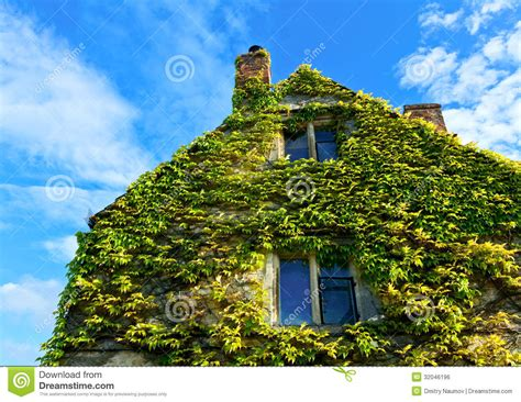 house covered  climbing english ivy stock photo image