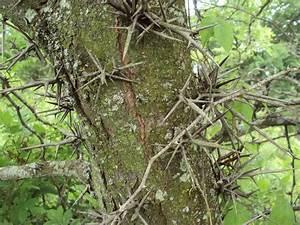 Black Locust and Honey Locust Fragrant Earth