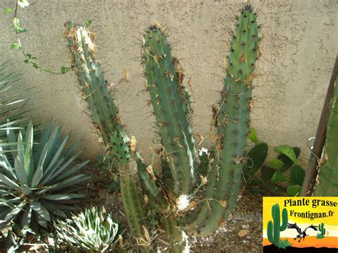 cactus exterieur resistant au froid 28 images id et cactus colonaire resistant au gel