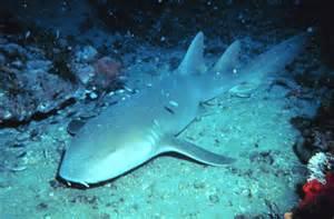 Fort Myers Nursery by Bestand Nurse Shark Jpg Wikipedia