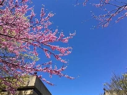 Blossoms Cherry 4k Wallpapers Desktop Phone Backgrounds