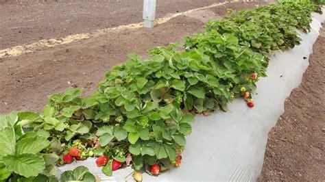 cravo strawberries