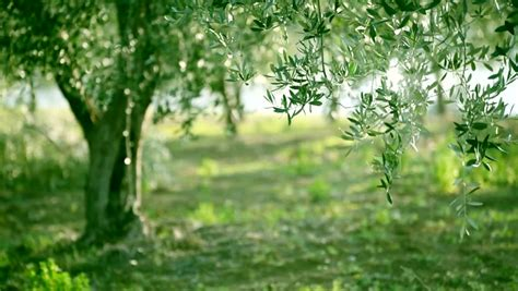 olive green tree leaves growing   garden natural