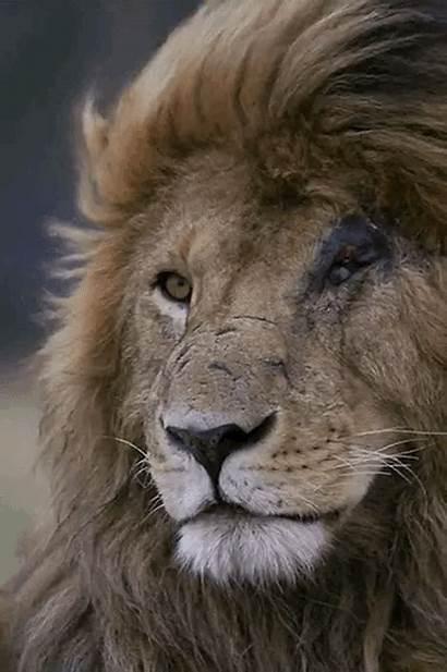 Lion Animals Animal Untmd Animated Prey Leo