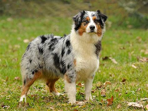 puppy shedding more than usual the basics of controlling shedding of your australian