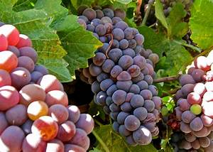 Dazzled by Pink Pinot Gris...What? - Vegas Wineaux