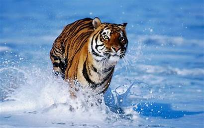 Tiger Wallpapers Tigers Amazing Collections
