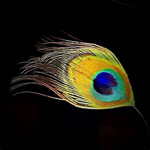 Free photo Peacock Feathers Plumage Animal Wheel