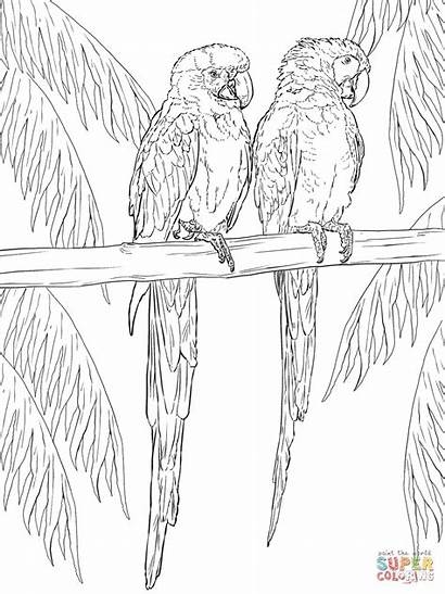Coloring Scarlet Perch Pages Macaws Macaw Printable