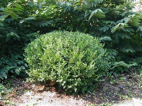 pruning bushes how to prune boxwood landscapeadvisor