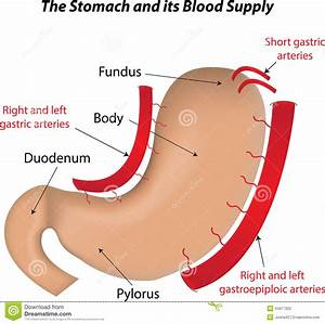 The Stomach And Its Blood Supply Stock Vector
