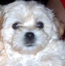 White Maltipoo Puppies