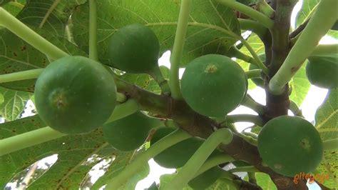 green figs buah tin yordan hijau