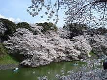 Fiore di ciliegio Wikipedia