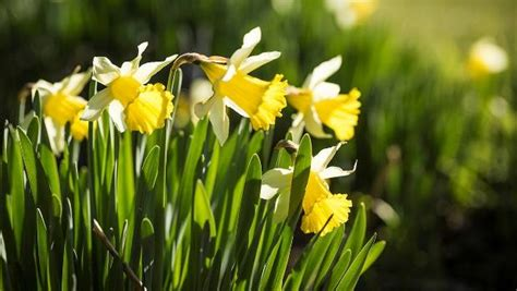 Daffodils, The Harbingers Of Spring And Other Things Stuffconz