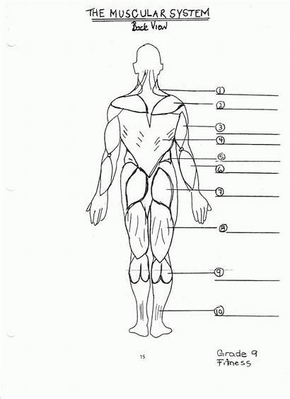 Muscular Diagram System Human Worksheet Drawing Labeled